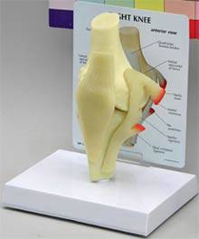 Knee Joint Anatomical Model