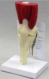 Muscled Knee Joint Anatomy Model