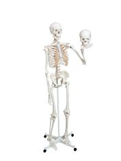 Life Size Skeleton Model