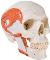 Masticatory Muscles Skull Model