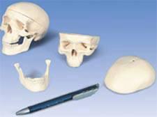 Classic Skull Model