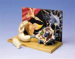 Motor Neuron Diorama