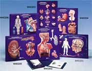 Nervous System Model Activity Set