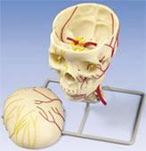 Neurovascular Skull