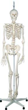 Physiological Skeleton Model