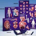 Respiratory System Model Activity Set