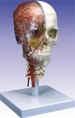Diadactic Deluxe Skull