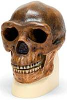 Sinanthropus Anthropological skull