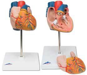 Standard Heart Model