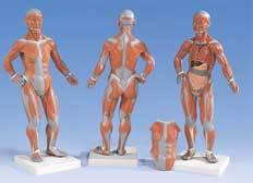 Standard Muscular Model