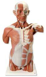 Muscle Torso Model