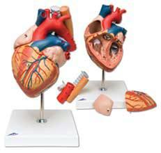 Heart w/ Esophagus and Trachea Model