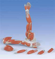 Standard Muscle Arm Model