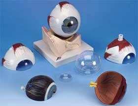 Standard Anatomical Eye Model