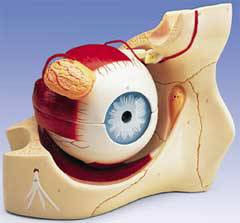 Anatomical Eye In Orbit Model