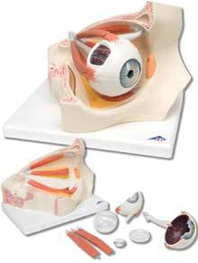 Standard Anatomical Eye In Orbit Model