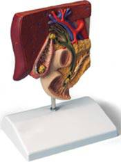 Standard Anatomical Gall Stone Model