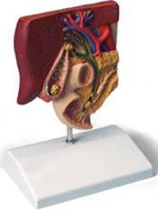 Standard Anatomical Gall Stone Model