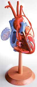 Standard Anatomical Human Heart Model