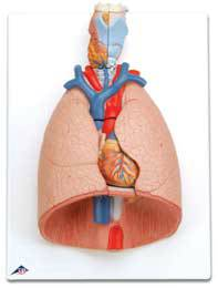 Standard Anatomical Lung Model Larynx