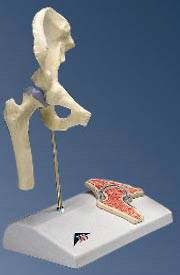 Standard Anatomical Mini Hip Joint Cross-Section Model