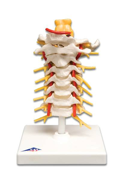 Standard Cervical Spinal Column Model