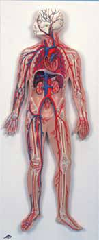 Standard Circulatory System Model