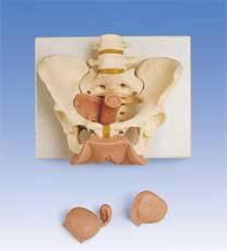 Standard Female Pelvis w/ Genital Organs  Model