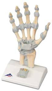 Standard Hand Skeleton Model