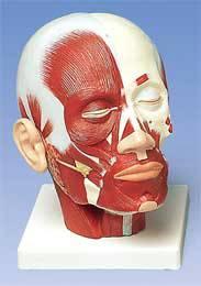 Standard Head Musculature Model