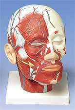 Standard Head Musculature w/ Blood Vessels Model
