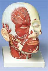 Standard Head Musculature w/ Nerves Model
