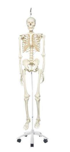 Standard Human Skeleton - Hanging Stand