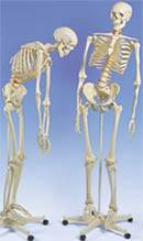 Flexible Skeleton Model