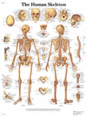 The Human Skeleton Chart w/ Two Metal Eyelets