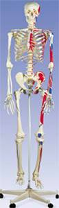 The Muscle Skeleton with Pelvic Mounted Roller Stand