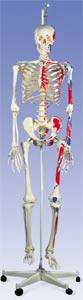 The Muscle Skeleton with Pelvic Hanging Roller Stand
