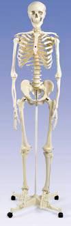 Standard Human Skeleton - Pelvic Mounted Roller Stand