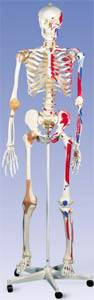 The Super Skeleton with Hanging Roller Stand