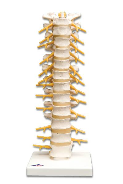Thoracic Spinal Column Model