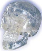 Transparent Skull Model