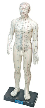 Human Acupuncture Model Male 11 in.